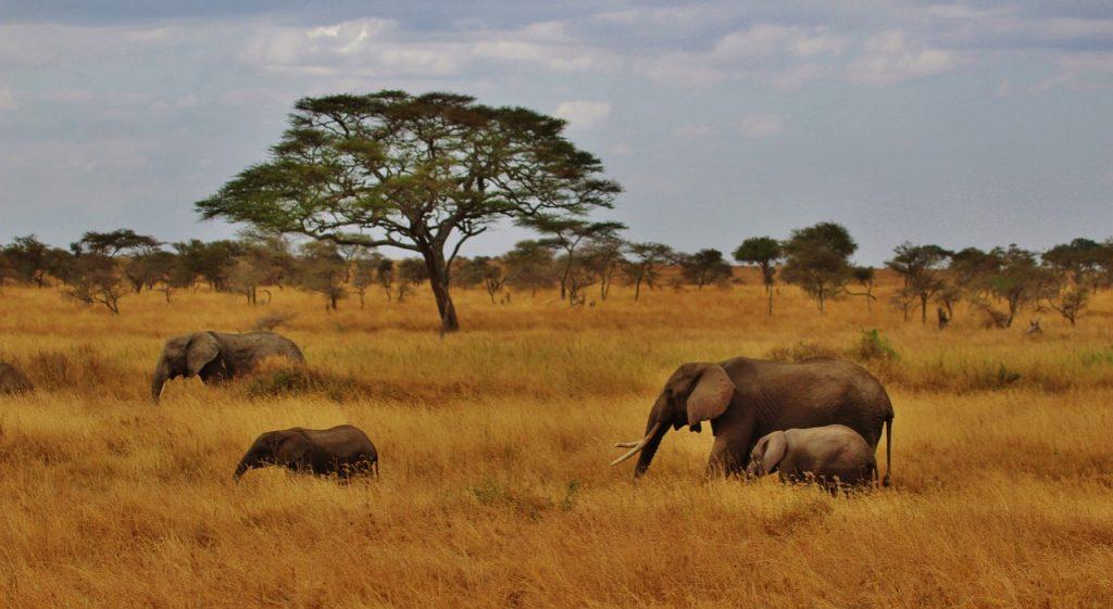 Elephants dans le parc de Serengeti