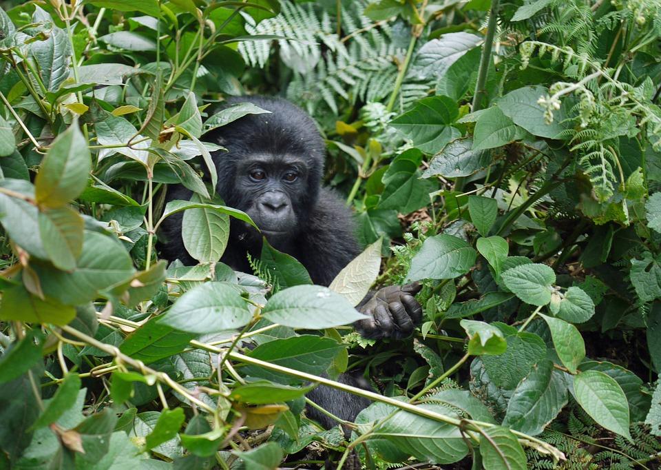 Bébé Gorille en Ouganda